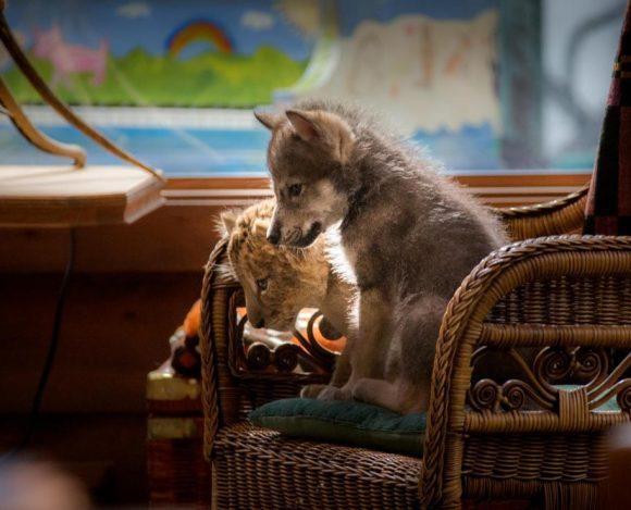 Vlk a lev – novinka, ktorú si radšej nechajte ujsť